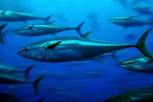 World Tuna Day was observed on 2nd May