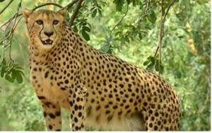 SC permitted centre to introduce African cheetah to suitable habitat in India