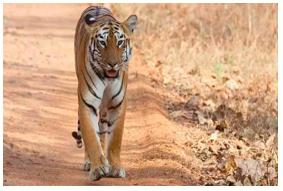 According to UN World Wildlife Crime Report, India among biggest suppliers of Tiger body parts in the world