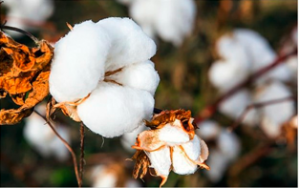 India trying setup its own Cotton Warehouse in Vietnam to boost Exports